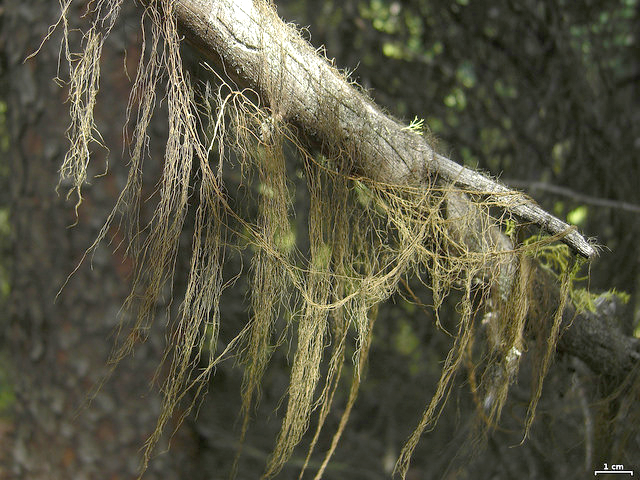 Long strands of lichen hang from a tree branch